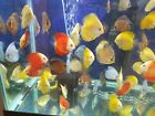5 Live Discus Fish- 3 inch Size- Your Choice of Colors!