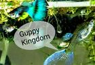 One young breeding pair Blue green Moscow tropical guppy