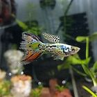 2 TRIO NEBULA STEEL GUPPIES Metallic Rainbow MultiColor Young Guppy Huge Fin