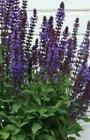 Fresh Blue Light Purple Salvia Deer Drought Resistant Sage Perennial Seeds USA