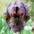 MIX 2 IRIS Bulbs Perennial Bearded Rhizome Resistant Fragrant Landscape Decor