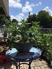 Adenium Thai Socotranum Plant Long Weeping Bracts Beautiful Nature Bonsai Pink