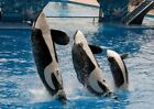 Orlando FL Killer Whale Family At Seaworld Art Prints Signs Canvas More