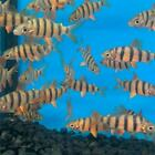 Distichodus sexfasciatus 2 in length live tropical fish