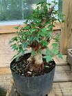 shohin trident maple bonsai old small leave