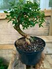 shohin trident maple bonsai root over rock