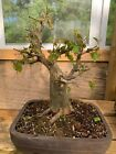 American hornbeam bonsai collected old