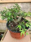 Shohin mame Japanese green mountain maple bonsai