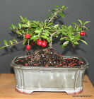 WEEPING CHERRY BONSAI TREE FLOWERS PINK ANO YELLOW REAL CHERRIES free gift