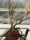 japanse green maple bonsai material