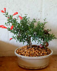 DWARF POMEGRANATE BONSAI TREE REAL FRUIT INDOOR BONSAI