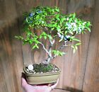 Dwarf Blueberry Bonsai Tree Live fruit flowers fall color Chinese pot NR rare