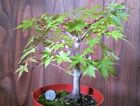 Japanese Maple Pre Bonsai Tree Live Acer Palmatum fall color plastic pot NR 01