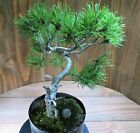 Old Mugo Pine Pre Bonsai Tree Live plastic pot NR 01