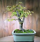 Dwarf Japanese Mount Fuji Cherry Flowers fruit Live Bonsai Tree in pot 01 Rare