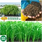 1 lbs 10000+ seeds Water Morning Glory Water Spinach Ong Choy Rau muong USA