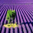 Lavender Fragrance Oil Candle Soap Making Supplies Free Shipping