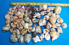1 gallon SM XL HERMIT CRAB SEASHELLS TURBO CRAFTS WEDDINGS ITEM  HC GAL