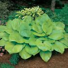 Hosta Sum and Substance Seeds (20) plus 5 free per order