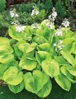 HOSTA BUMBLE BEE 20 SEEDS PICKED FRESH FALL 2014BUY ANY 5 GET 1 FREE