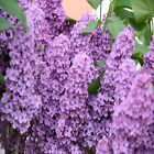 Lilac Fragrance Oil Candle Soap Making Supplies Free Shipping