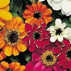 50+ Zinnia Profusion Mix Disease Resistant Flower Seeds Annual