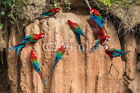 """Bild auf Leinwand: """"macaws in clay lick in the peruvian Amazon jungle at Mad..."""""""