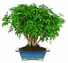 Brussels Hawaiian Umbrella Tree Bonsai