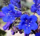 California Bluebell Wildflower seeds Attracts Butterflies Phacelia campanularia