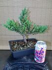 Parsoni Juniper Pre Bonsai Tree