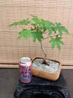 Japanese Maple Pre Bonsai Tree 2
