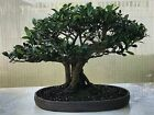 Look  Amazing Bonsai Ficus Banyan tree Bonsai