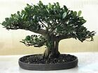 LOOK  Bonsai chinese banyan bonsai tree FICUS