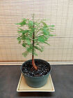 Bald Cypress Pre Bonsai Tree