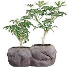 Brussels Hawaiian Umbrella Tree on Rock Bonsai New