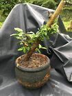LIVE Flowering Crabapple Bonsai Tree Outdoor 15yr Plus  yamadori