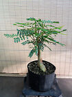Collected Black Locust Pre Bonsai Tree1 1 2 trunk