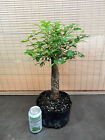 Collected Large Winged Elm Pre Bonsai Tree 2 1 4 unusual trunkmust see