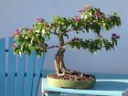 BOUGAINVILLEA MATURE BONSAI BEAUTIFUL and RARE PURPLEFREE SHIPPING