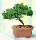 Green Mound Junpier Bonsai Small Outdoor comes in a 6 containerby Brussels
