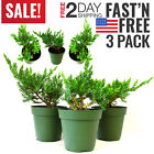 Bonsai Tree Japanese Tree Potted House Plants Home Decoration Indoor Trees