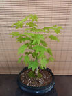 Vine Maple Pre Bonsai Tree