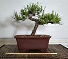 Shohin Japanese Black Pine Bonsai