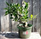 Ficus Pre Bonsai Tree Tiger Bark Trunk 15 in Height 80 in