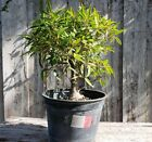 Pre bonsai tree Willow Leaf Ficus ficus nerifolia