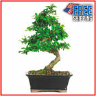Medium Bonsai Fukien Tea Bonsai Indoor Garden Flower Tree Plant Decorative Cute