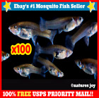 100+ Live Gambusia Mosquito Fish Aquarium and Pond Feeder Guppies Guppy FOOD
