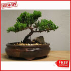 Best Gift Bonsai Juniper Tree