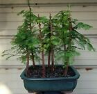 Dawn Redwood Bonsai 7 Tree Forest