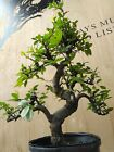 Large Informal Upright Chinese Elm Pre Bonsai by The Bonsai Supply